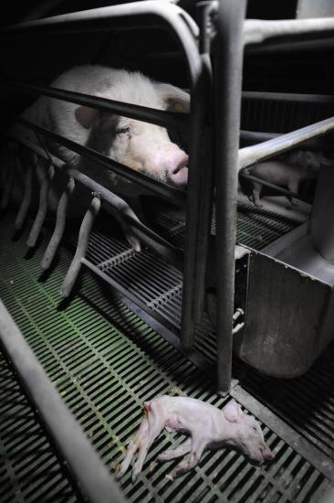 Pig factory farm investigation. Spain, 2011